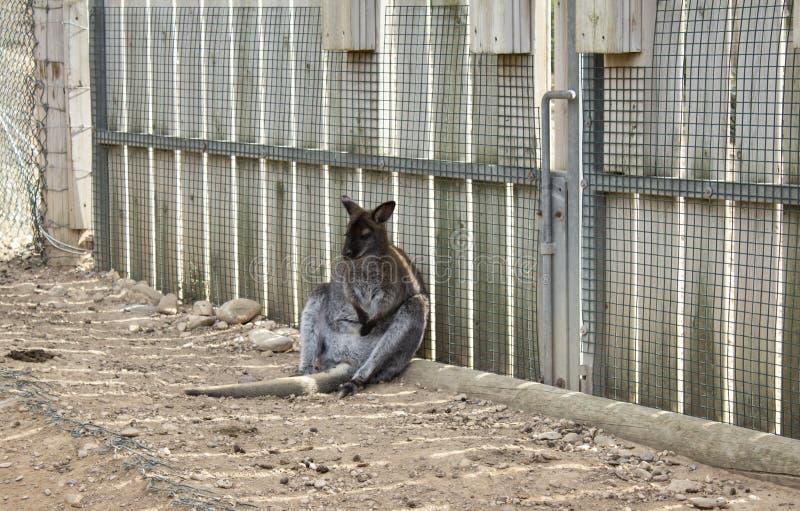 Kangourou triste verrouillé photo libre de droits