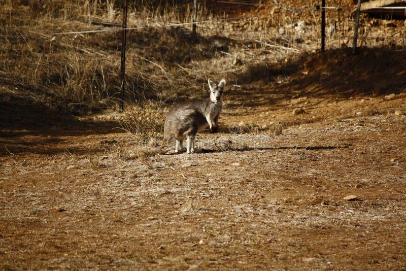 Kangourou/wallaby sauvages se reposant dans le soleil sec chaud photographie stock libre de droits