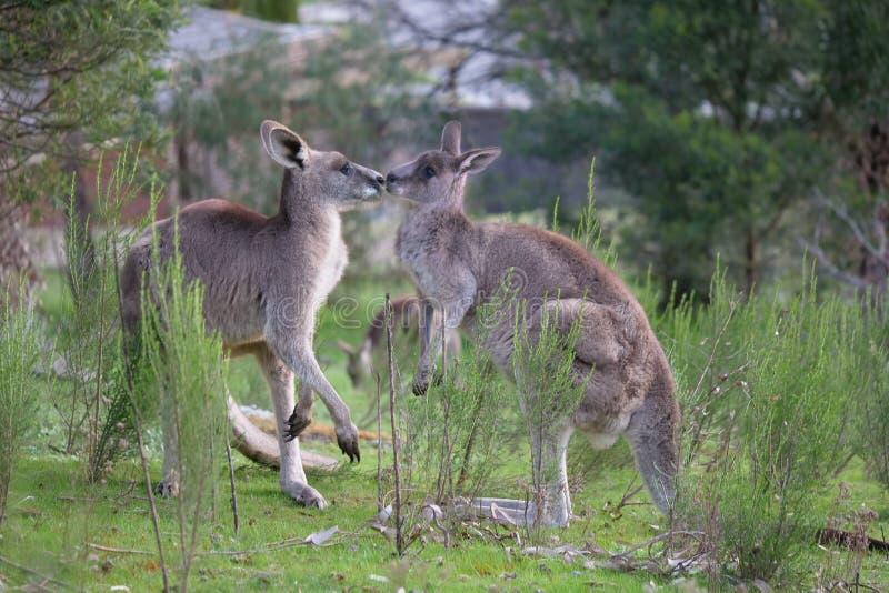 Kangourous dans l'amour image libre de droits