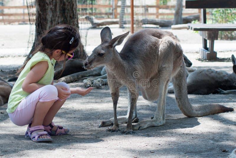 Kangourous de alimentation de fille au zoo en Israël photo stock