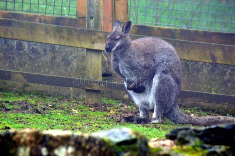 Kangourous par jour pluvieux photographie stock