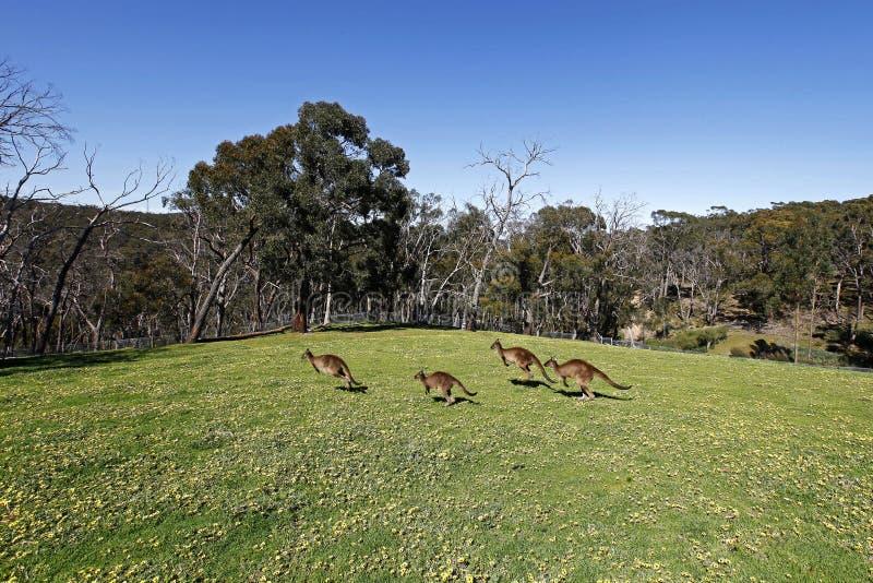 Kangourous sautants photo libre de droits