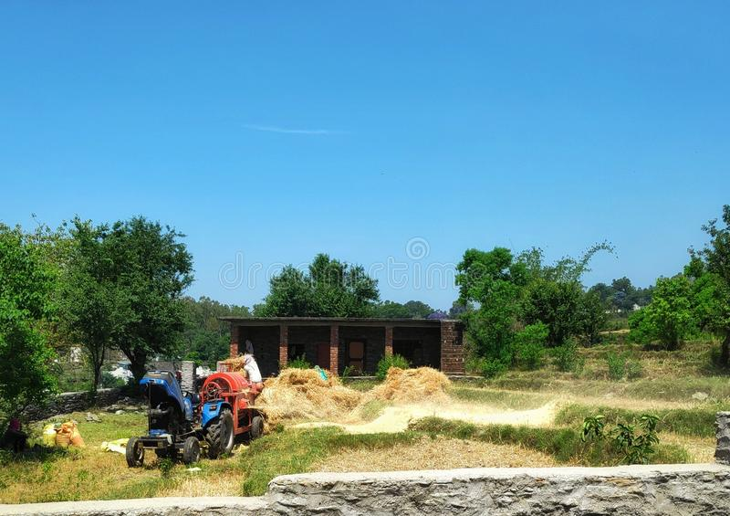 kangra dorato organico India del raccolto del grano fotografia stock libera da diritti