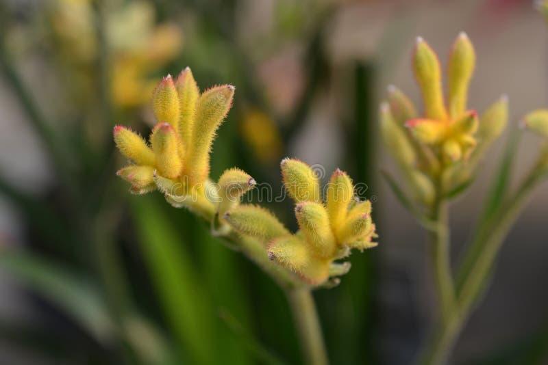 Kangur łapy piękna kolor żółty obrazy stock