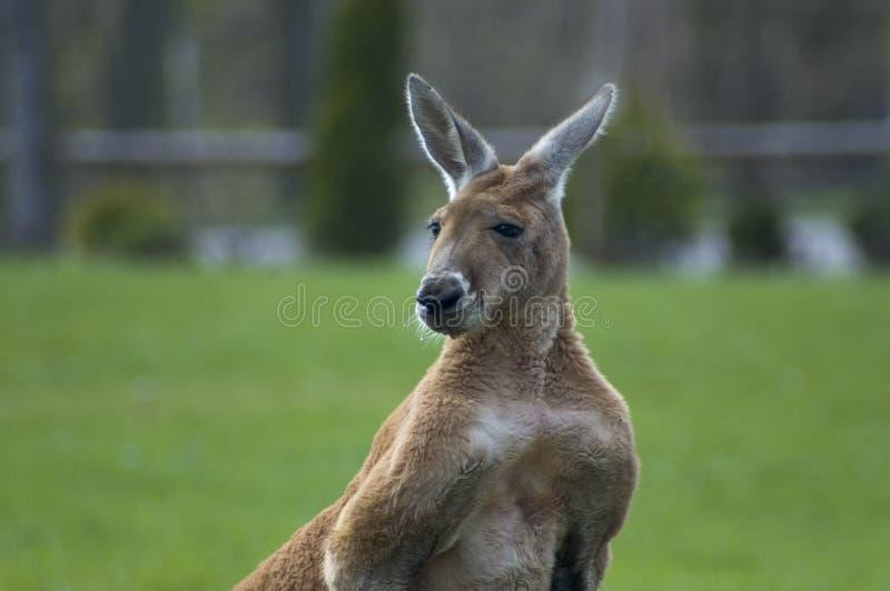 kangur zdjęcia stock