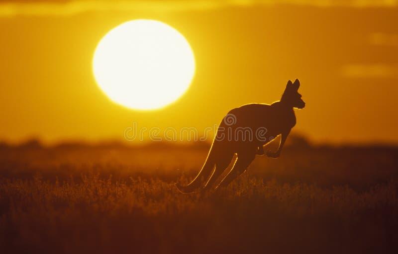 Kangur obrazy stock