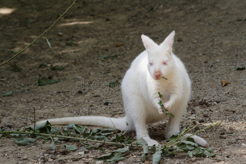 kangur albinos obraz royalty free