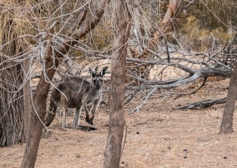 Kangur Przez pętaczki obrazy royalty free