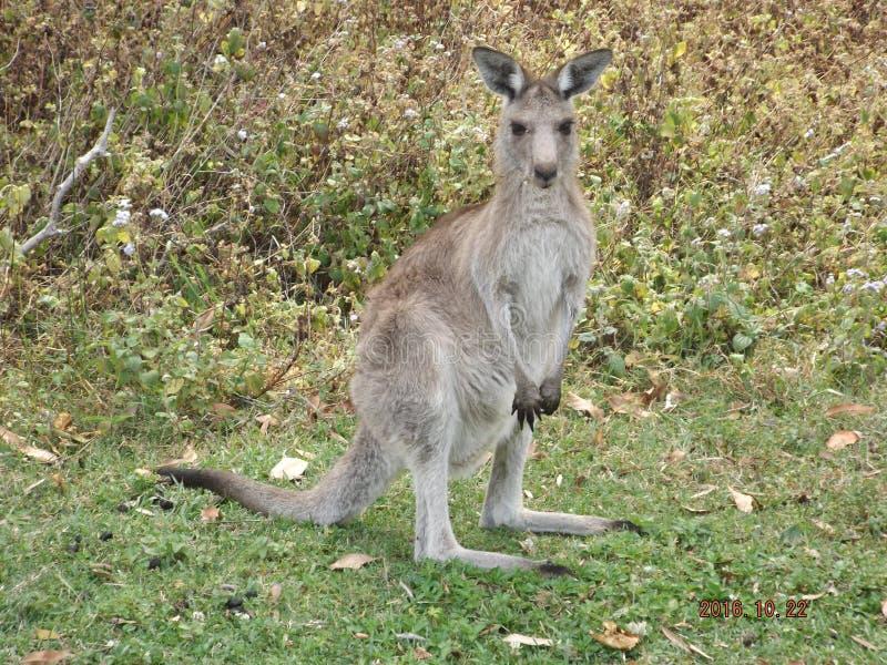 Kangur przezornie i gotowy skakać fotografia stock