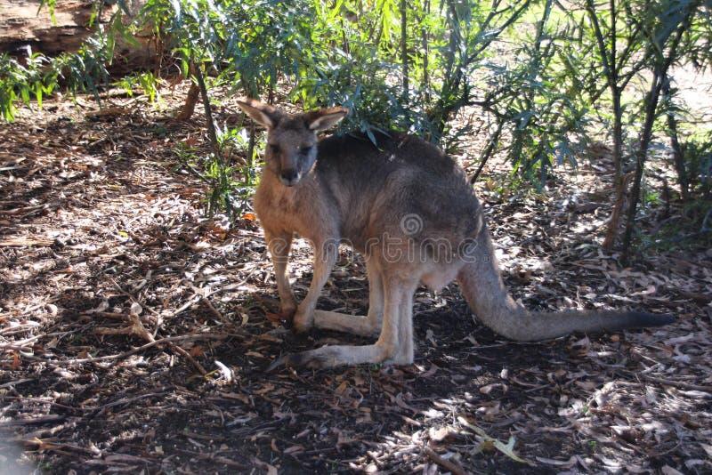 Kangur w krzaku zdjęcie royalty free