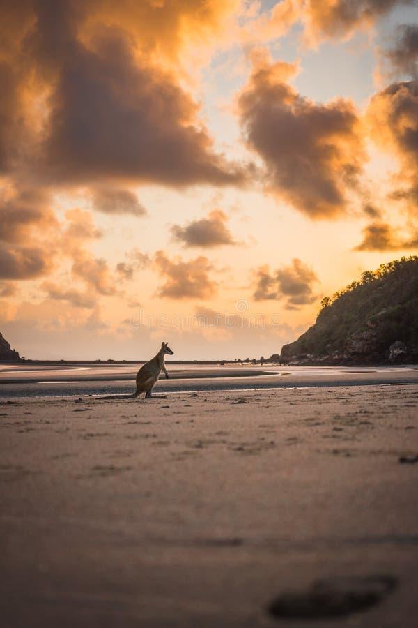 Kangur w wschód słońca przy kangur wyspą zdjęcie royalty free