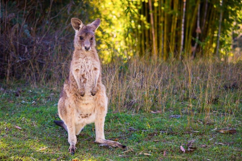 Kangura dziecko, światła słonecznego wybrzeże, Australia zdjęcie royalty free