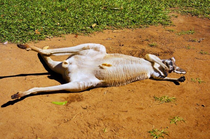 Kangura Relaksować zdjęcie stock