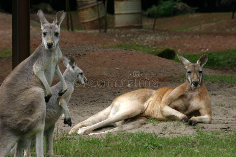 Download Kangury obraz stock. Obraz złożonej z kłamstwo, skippy - 432875