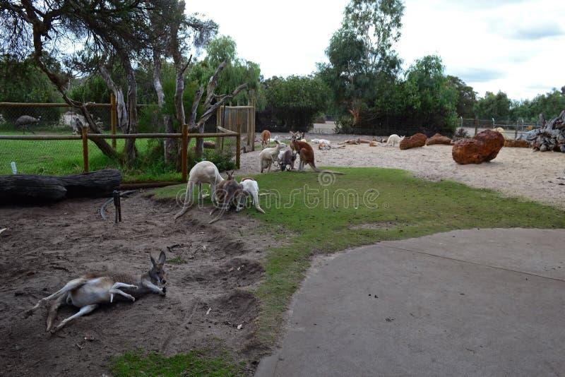 kangury zdjęcie stock