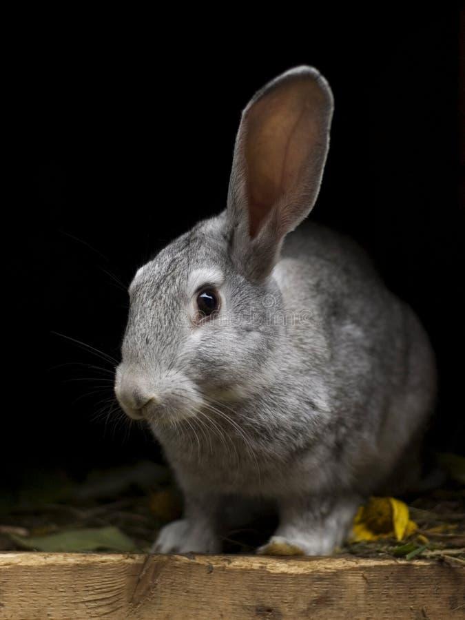 kanin för öra ett upp royaltyfria foton