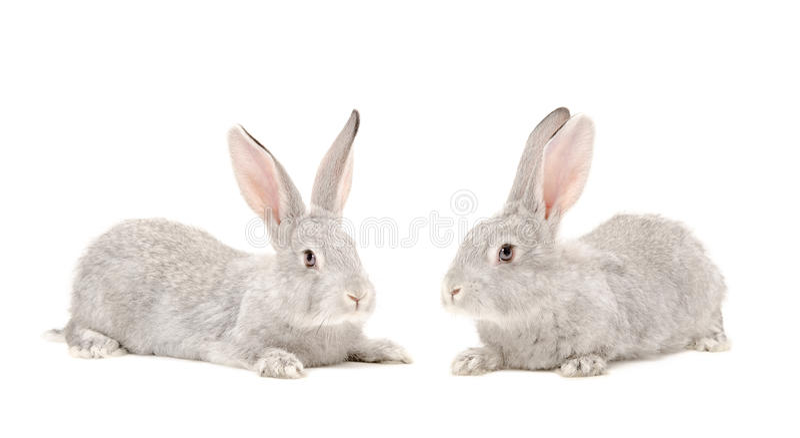 Kanin för två grå färger arkivfoto