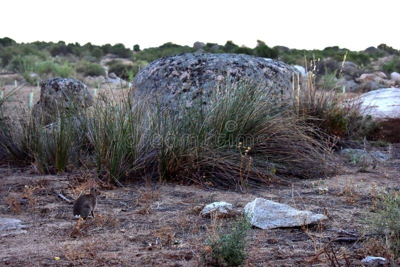 kanin i fältet royaltyfri bild