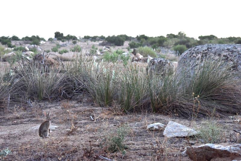 kanin i fältet arkivfoto