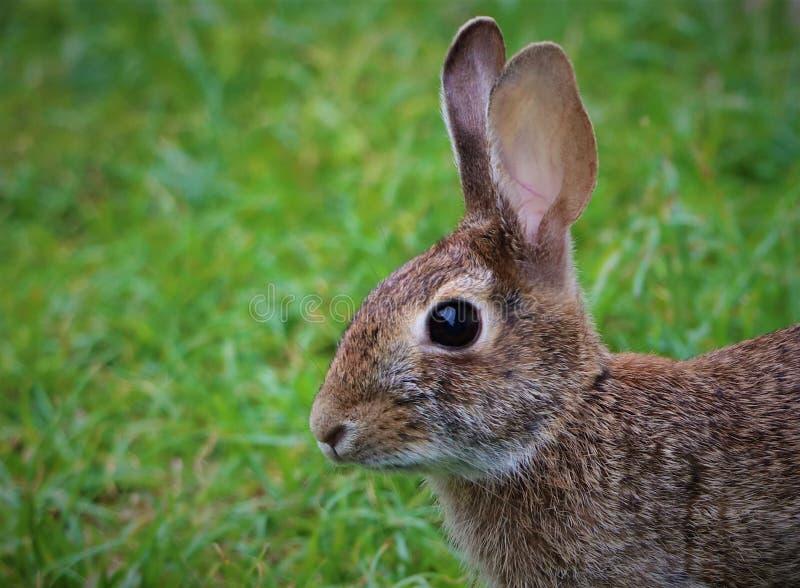 Kanin i naturlig inställning royaltyfri bild
