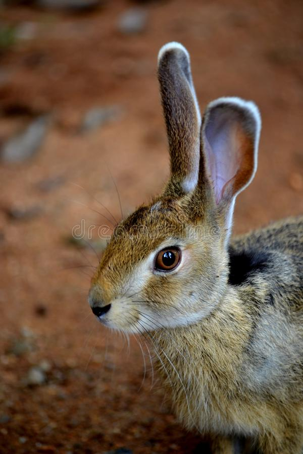Kanin i Sri Lanka snabb running han har blivit vild det finns mycket långa öron, arkivbild