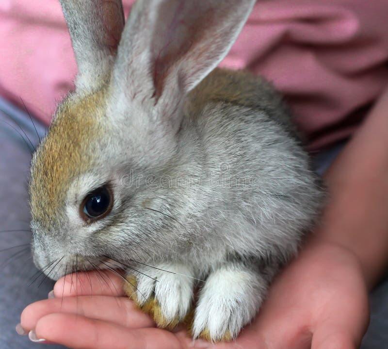 Kanin på flickas varv fotografering för bildbyråer