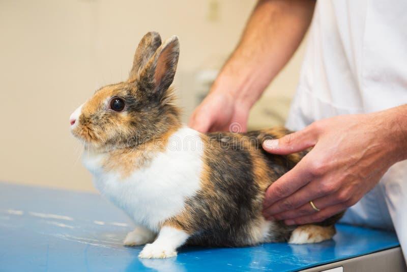 Kanin på veterinären royaltyfri bild