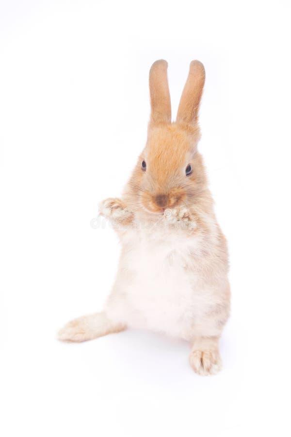 Kanin på white royaltyfri bild