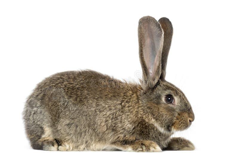 Kanin som isoleras på vit royaltyfria bilder