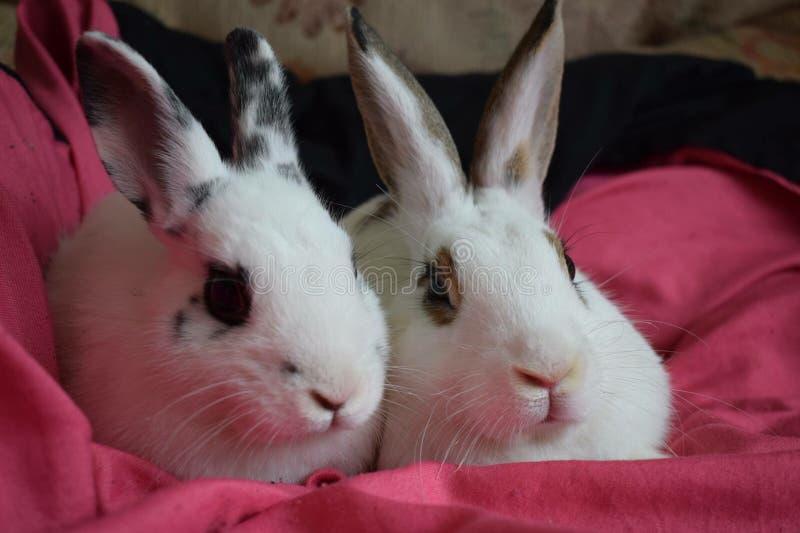 Kaninbröder royaltyfria foton
