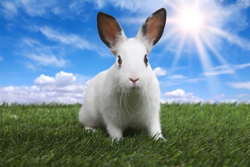 Kaninchen auf ruhiger sonniger Feld-Wiese im Frühjahr stockfoto