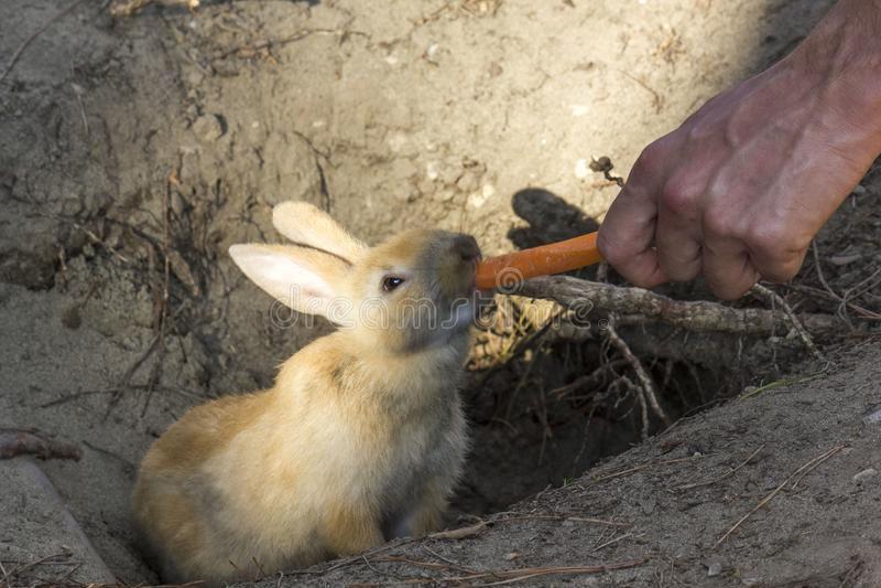 Kaninchen, das eine Karotte von einer menschlichen Hand isst lizenzfreie stockfotografie