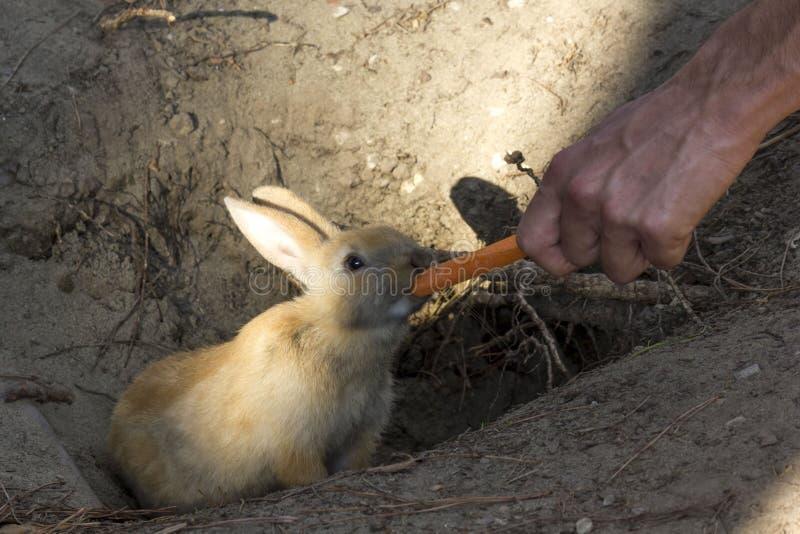 Kaninchen, das eine Karotte von einer menschlichen Hand isst stockbild