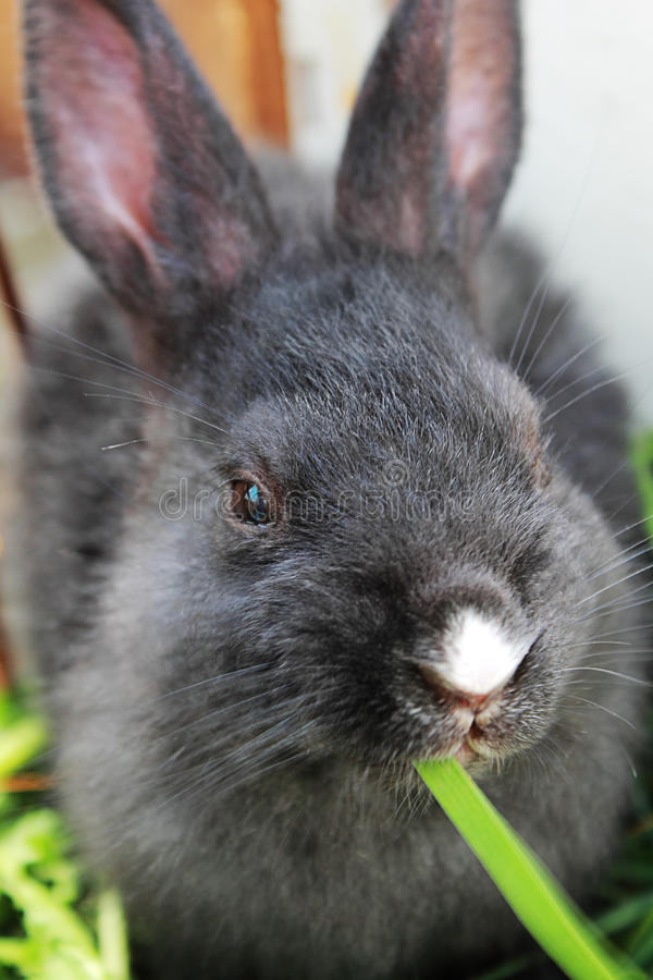 Kaninchen, das Gras isst. lizenzfreie stockbilder