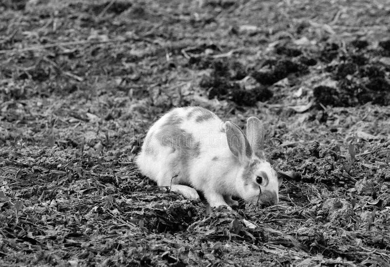 Kaninchen, das nach Nahrung sucht lizenzfreie stockbilder