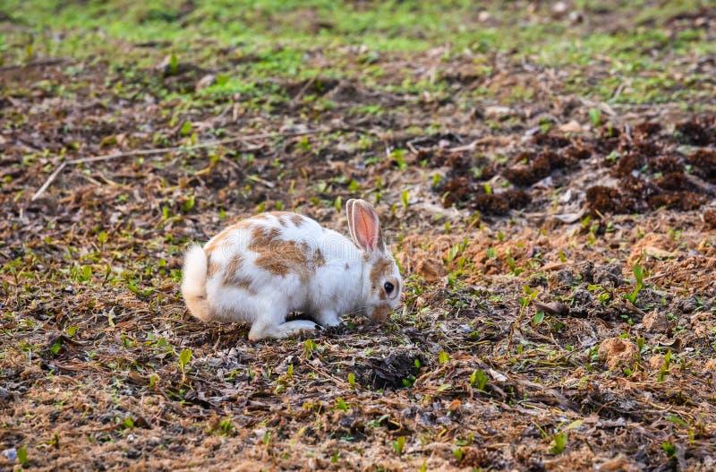 Kaninchen, das nach Nahrung sucht stockfotografie