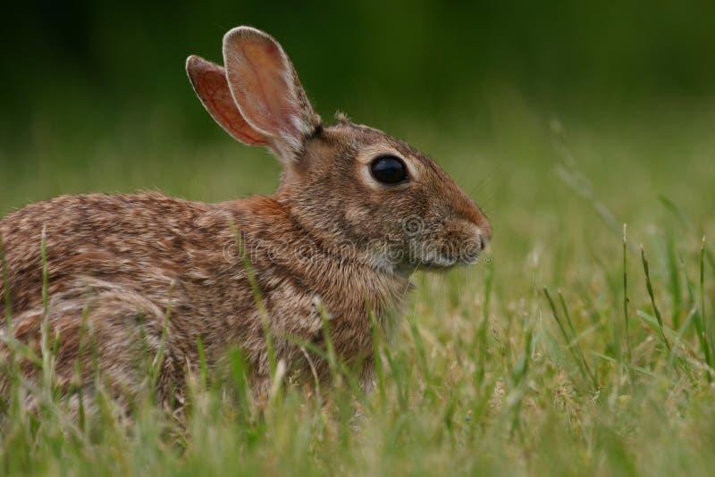 Kaninchen des östlichen Waldkaninchens lizenzfreies stockbild