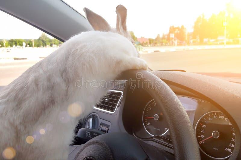 Kaninchen fährt ein Auto, er ist am Fahrersitz hinter dem Lenkrad r E lizenzfreies stockfoto