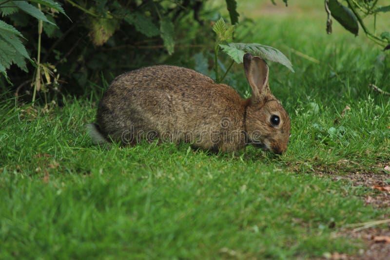 Kaninchen-Frühstück stockfotos