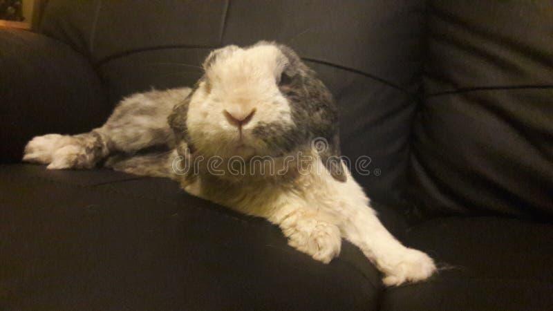 Kaninchen ganz heraus gekühlt lizenzfreies stockfoto