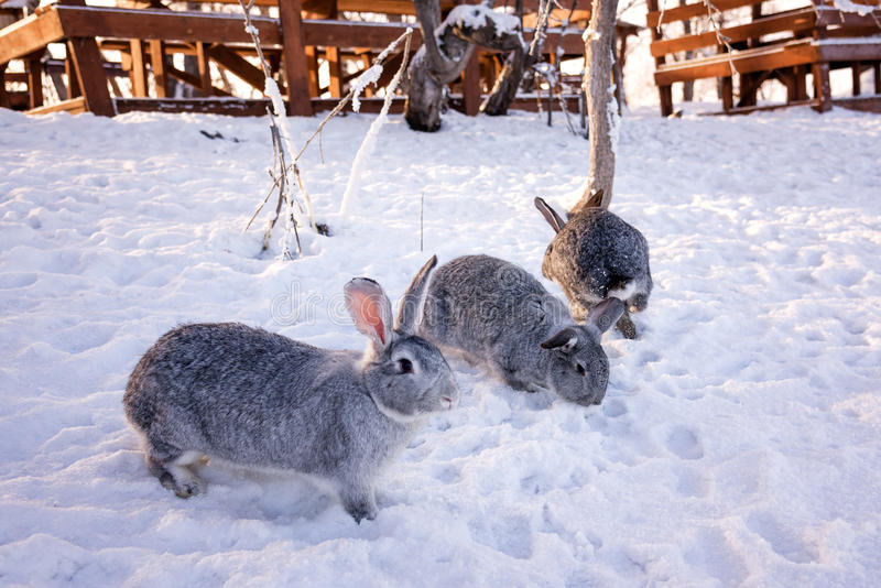 Kaninchen im Schnee lizenzfreie stockfotos