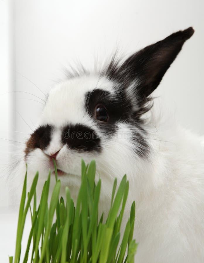 Kaninchen isst Gras stockfoto