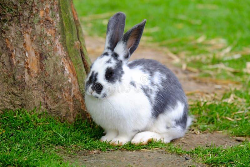 Kaninchen mit Schwarzweiss-Pelz auf dem grünen Gras stockfotos
