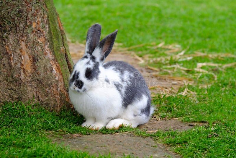 Kaninchen mit Schwarzweiss-Pelz auf dem grünen Gras stockfoto