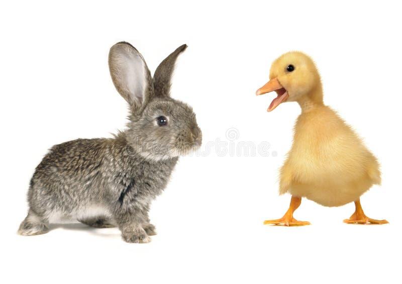 Kaninchen und Küken lizenzfreie stockfotografie