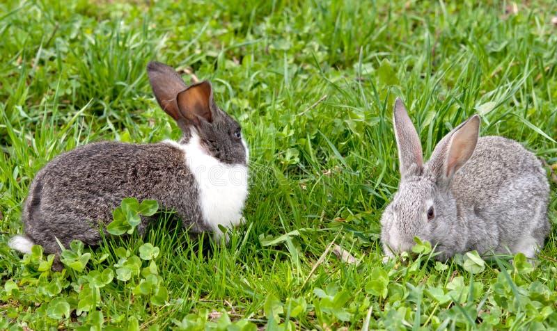 Kaninchen zwei lizenzfreies stockfoto