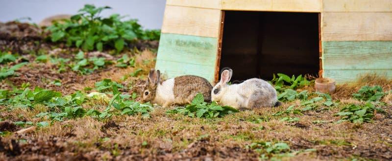 Kaninchen zwei, das Gras isst stockfotografie