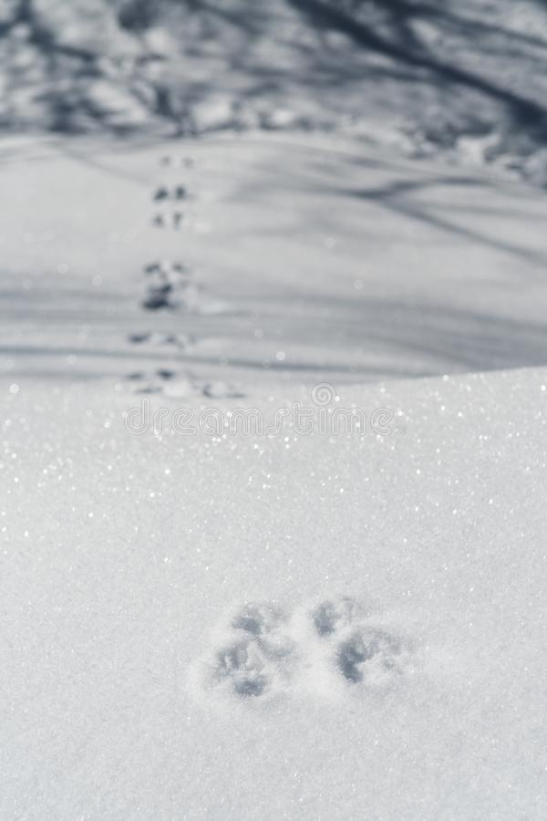 Kaninchenabdrücke auf dem Schnee, der in das Holz schleppt stockfotografie