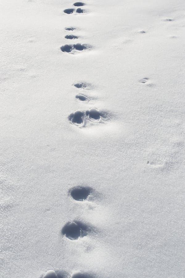 Kaninchenabdrücke im Schnee lizenzfreie stockfotos