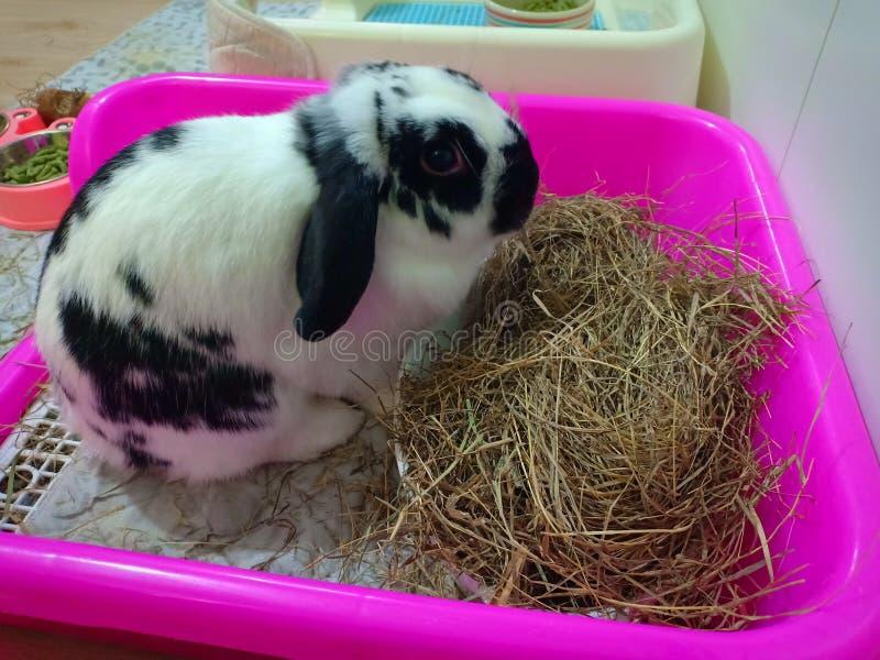 Kaninchenhäschen Holland stutzen lizenzfreies stockfoto